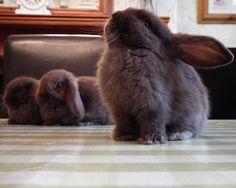 black baby bunnies | stunning-mini-lop-brown-black-baby-bunnies-5217c3514372a.JPG