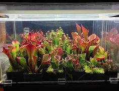 "The International Carnivorous Plant Society -- This page has great lighting advice.  ""One of the attractions of carnivorous plants is many species can be grown and enjoyed indoors. ... Artificial lighting can be used in combination with a terrarium, with commonly available shelving, or in any situation in your house where you would like additional lighting and plants."""