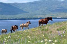 * Cavalos Bashkir * Ural Mountains, Horse Breeds, Present Day, Westerns, Europe, Racing, Horses, Travel, Animals