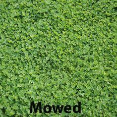 59 Best Clover Lawn Images