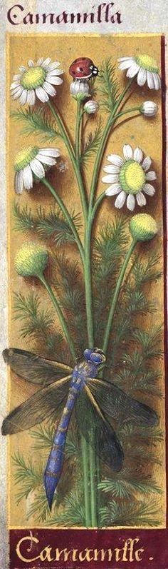 Camamille - Camamilla (Matricaria chamomilla L. = camomille) -- Grandes Heures d'Anne de Bretagne, BNF, Ms Latin 9474, 1503-1508, f°13v