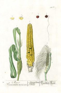Corn illustration - circa 1557