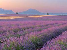 lavender fields, Valensole, Provence, France - Webshots #LavenderFields