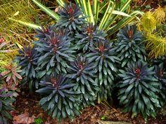 Full size picture of Cushion Spurge 'Blackbird' (Euphorbia)