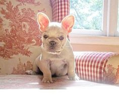 French Bulldog Puppy on French Toile | Content in a Cottage