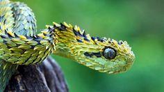 Spiny Bush Viper (Atheris hispida). #Snake