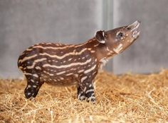 Instantly Improve Your Day With This Magical Baby Tapir