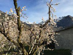Fleurs d'abricotiers