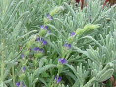 Lavandula heterophylla Fall Plants, Herb Plants, California Garden, Southern California, Lavender Varieties, Lavandula, Organic Herbs, Growing Plants, Bouquet