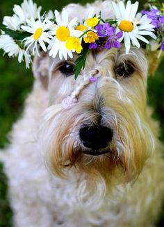 Schnauzer wedding dog daisy flower crown braid Toni Kami ❀Flowers in their coats❀