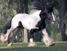 Gypsy Vanner Horse running. From the Equitrekking Horse Breed guide.