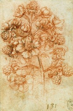 A sprig of blackberry (Rubus fruticosus), Leonardo da Vinci (Vinci 1452-Amboise 1519) (artist) , c.1505-10 , Red chalk with touches of pen and ink
