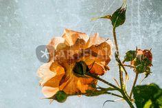 """""""Spell a rose"""" Grafik/Illustration als Poster und Kunstdruck von Chris Berger bestellen. - ARTFLAKES.COM"""