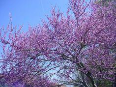 Spring Bloom - Tennessee Redbud (Cercis Canadenis) .
