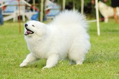 Get to Know the Samoyed: From Russia with Love