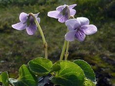 Marsh Violet, Viola palustris - flowers Aprll-September. Boggy areas.