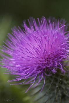 Scottish thistle!