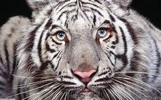 Myth of the Maltese Tiger | The World of Chinese