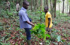 Bitter chocolate: Illegal cocoa farms threaten Ivory Coast primates - http://scienceblog.com/77533/bitter-chocolate-illegal-cocoa-farms-threaten-ivory-coast-primates/