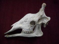Giraffe skulls are incredibly beautiful.