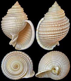 Semicassis whitworthi (Abbott, 1968)  -  C.Chen