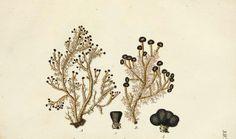 Lichenes Americani  Norimbergae :J. Sturm,1811.