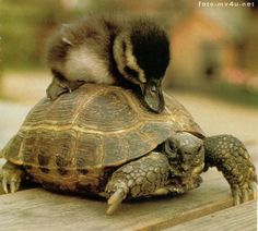 Turtle taxi - Can you speed it up, please? - interspecies friendship turtle & duckling