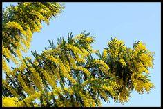 Mimose...lat. Acacia decurrens var. dealbata (Mimosaceae)