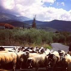 """""""Had to stop and share the road with a flock of sheep #greece #peleponese #mani"""" Photo taken by @livtsakiris on Instagram, pinned via the InstaPin iOS App! http://www.instapinapp.com (10/22/2012)"""