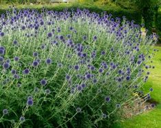 Colorful Flowers, Blue Flowers, Globe Flower, Ladybug Garden, Herbaceous Border, Border Plants, Gravel Garden, Love Garden, How To Grow Taller