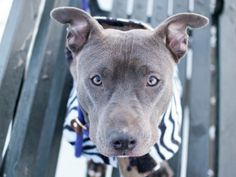 URGENT - Manhattan Center    EVA - A0990493   FEMALE, BLUE / WHITE, PIT BULL MIX, 1 yr, 6 mos  STRAY - STRAY WAIT, NO HOLD Reason STRAY   Intake condition NONE Intake Date 01/27/2014, From NY 10473, DueOut Date 01/30/201 Main thread: https://www.facebook.com/photo.php?fbid=749434868402728&set=a.617938651552351.1073741868.152876678058553&type=3&permPage=1