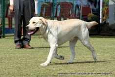 Jamshedpur Obedience Dog Show 2014 Dog Show, Dog Pictures, Labrador Retriever, Dogs, Animals, Labrador Retrievers, Animales, Pictures Of Dogs, Animaux