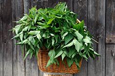 A sokszor becsmérelt csalán Isten kertjének legfontosabb gyógynövényei közé tartozik - így ír a csalánról Maria Treben, az osztrák füvesasszony. Milyen igaza van. A csalán egy sokoldalú csodaszer és alapanyag is egyben. A legjobb tavasszal fogyasztani, mondhatni, most van a… Grated Cheese, Yams, Food Processor Recipes, Plants, Bucky, Plant, Planets