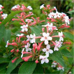 ABELIA mosanensis MONIA (Abélia mosanensis Monia)