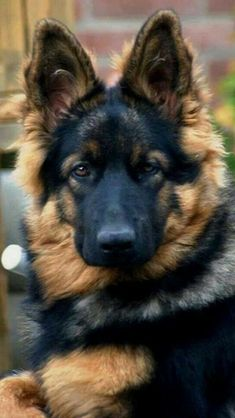 """Absolutely very beautiful"" #germanshepherd"