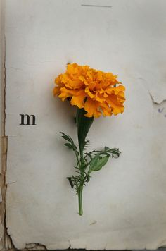 """And I too have planted marigolds."" Eugenia Collier"