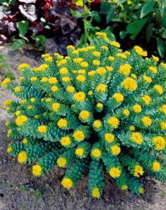#Rhodiola jaune : #plante compacte aux #feuilles épaisses d'un beau #gris-vert contrastant avec les #grappes de #fleurs jaunes en été. Originaire de régions #montagneuses, elle est très #rustique et pousse facilement.