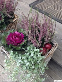 Gardening Autumn - fleurs dautomne chou dornement - With the arrival of rains and falling temperatures autumn is a perfect opportunity to make new plantations Heather Plant, Ornamental Cabbage, Balcony Flowers, Fall Containers, Fall Planters, Entrance Decor, House Entrance, Deco Floral, Container Flowers