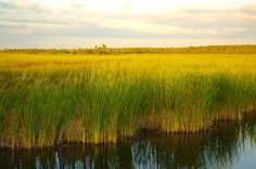 The river of grass which is the Everglades National Park,Florida.