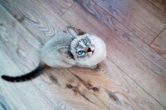 Adorable siamese cat^^
