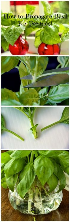 Basil Lovers: How to Propagate Basil ... For Pennies..