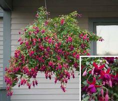Fuchsia 'Lord Beaconsfield' (Fuchsia hybrid)