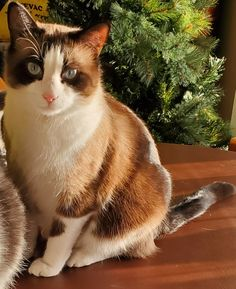 Cat Breeds With Pictures, Cats, Animals, Gatos, Animales, Kitty Cats, Animaux, Animal, Cat