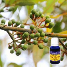 May Chang Essential Oil (Litsea cubeba) for aromatherapy, skin care and natural perfumes. Tinderbox: supplying pure essential oils since May Chang, Litsea Cubeba, Pure Essential Oils, Herbalism, Spices, Fragrance, Essentials, Pure Products, Fruit