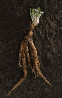 Mandrake Root Before anything else, I'd like to point out that this plant is poisonous. Atropa mandragora Formerly- Mandragora officinalis Other names European Mandrake, Mandragora, Mandrake,…