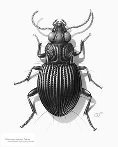 "Carabid beetle from South America, the first illustration Venable created in tone on the computer, in 1992, using Adobe Photoshop version 2. The image was rendered entirely using a mouse, as pressure sensitive graphics tablets had not yet been invented; there were no layers and only one ""undo."" It was created for the research of Dr. Terry L. Erwin of the Department of Entomology. Credit: Image by George Venable  http://www.mnh.si.edu/onehundredyears/profiles/George_Venable.html"