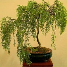A Father Talks with his Daughter about God: Ritual Seen As A Bonsai WiIlow 2