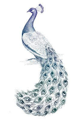1000 images about pavo real on peacock Peacock Drawing With Colour, Peacock Sketch, Peacock Wall Art, Peacock Painting, Pencil Drawings Of Animals, Animal Sketches, Pfau Tattoo, Peacock Pictures, Peacock Tattoo
