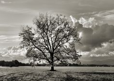 Oak tree in black and white