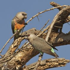 Red bellied parrots (poicephalus rufiventris)
